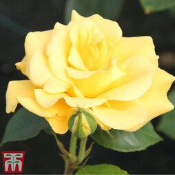 Rose 'Precious Gold' (Floribunda Rose)