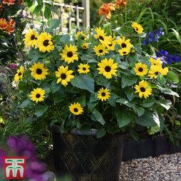 Sunflower SunBelievable™ 'Golden Girl'