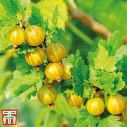 Gooseberry 'Giggles Gold'