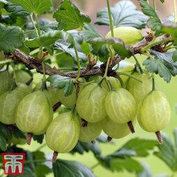 Gooseberry 'Giggles Green'