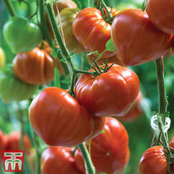 Tomato 'Gourmandia' Grafted
