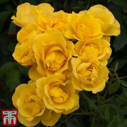 Rose 'Grandma's Rose' (Floribunda Rose)
