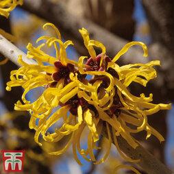 Hamamelis x intermedia 'Pallida'
