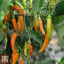 Chilli Pepper 'Havana Gold'