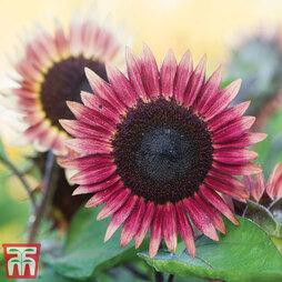 Sunflower 'Ms Mars'