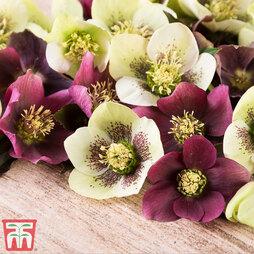 Hellebore x hybridus 'Mixed'
