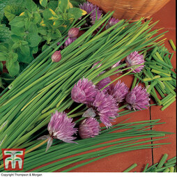 Chives 'Allium Prado'