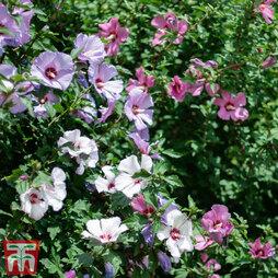 Hibiscus 'Tricolour'