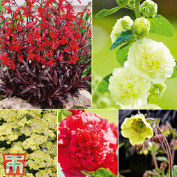 Hot Summer Colour Perennials
