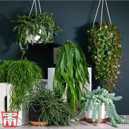 Nurserymans Choice Hanging Basket Succulent Plant Collection (House Plant)