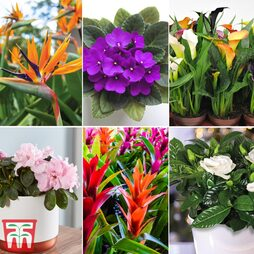 Nurserymans Choice Floral House Plant Mix (House Plant)