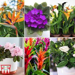 Nurserymans Choice Floral House Plant Mix (House Plant)