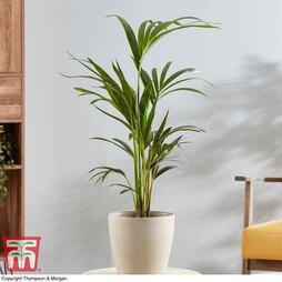 Kentia Palm (House Plant)
