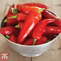 Chilli Pepper 'Hungarian Hot Wax' (Moderately Hot)