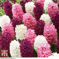 Hyacinth 'Pretty in Pink' Mix