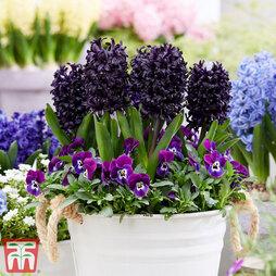 Hyacinth 'Midnight Mystic'®