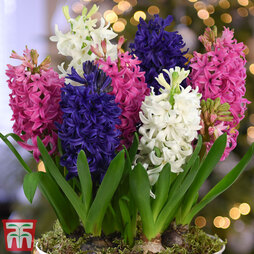 Hyacinth 'Pagoda Mix'