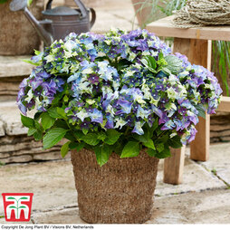 Hydrangea macrophylla 'Lady Mata Hari Blue' (Royalty Collection)