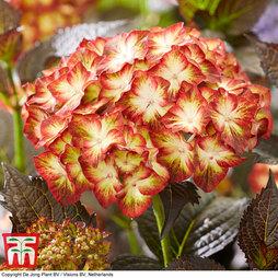 Hydrangea macrophylla 'Light My Fire'