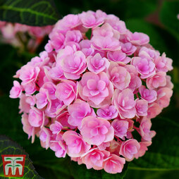 Hydrangea macrophylla 'You & Me Perfection'