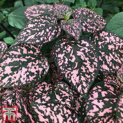 Pink Polka Dot Plant (House plant)