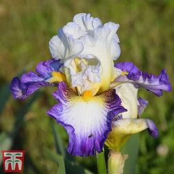 Iris 'Irisades'
