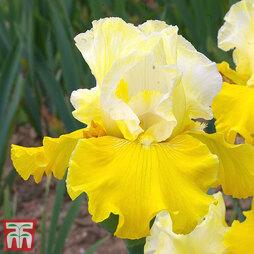 Iris 'Lune et Soleil'