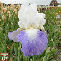 Iris 'Mission Ridge' (Re-Blooming)