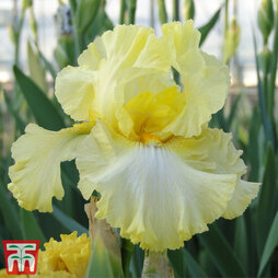 Iris 'Summer Olympics' (Re-Blooming)