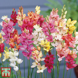 Ixia 'Mixed Colours'