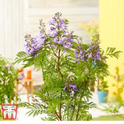 Jacaranda 'Bonsai Blue'