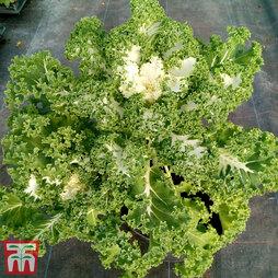 Kale 'Frost Byte' F1 Hybrid