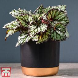 Begonia rex 'King's Spirit' (House plant)