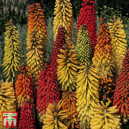Red Hot Poker 'T&M Special Hybrids'