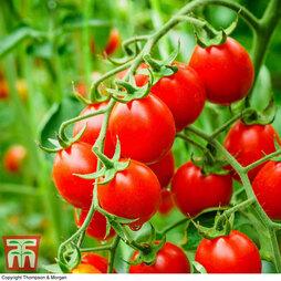 Organic Tomato 'Koralik'