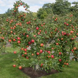 Apple 'Family Apple Tree'