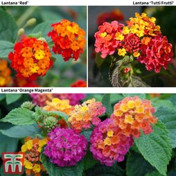 Lantana camara Tropical Collection