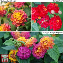 Lantana camara Calippo Collection
