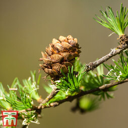 Japanese Larch