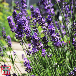 Hardy English Lavender