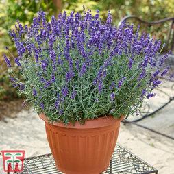 Hardy English Lavender