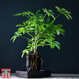 Schefflera Plant on Lava Rock in a Tray (Lova plant) (House Plant)