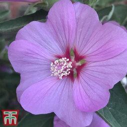 Lavatera x clementii 'Strawberry Milkshake'