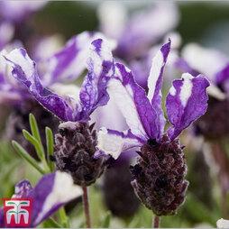 Lavender 'Twin Summer' (Butterfly Garden)
