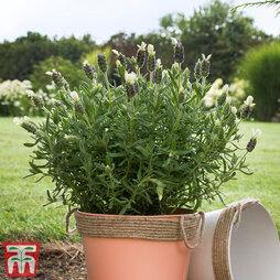 Lavender 'White Giant Summer Improved' (Butterfly Garden)