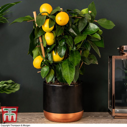 Lemon - Citrus Trellis (House Plant)