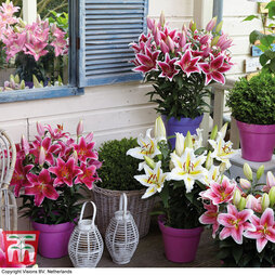 Lily Romance Collection