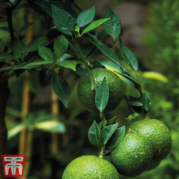 Lime Fruiting Bush