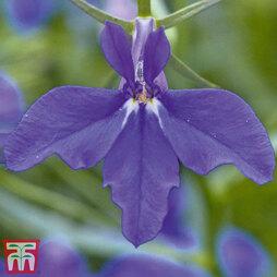 Lobelia erinus 'Laura Deep Blue'