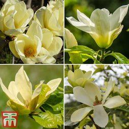 Magnolia 'Cream'